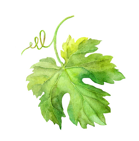 Grape leaf of vine with swirl. Watercolor botanical illustration Stock Photo