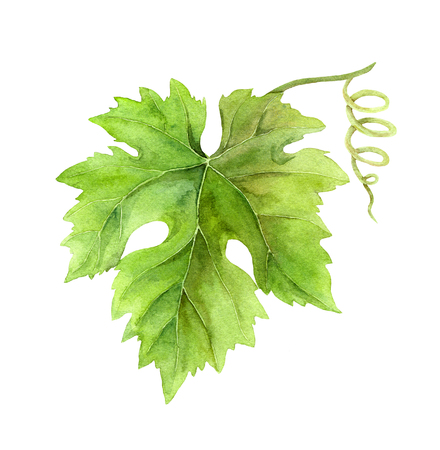 grape leaf: Grape leaf of vine with scroll. Watercolor botanical illustration Stock Photo