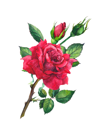 Red rose flower. Watercolor Stock Photo