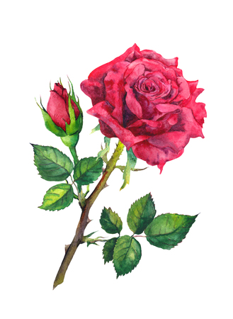 Red rose flower, bud. Watercolor botanical illustration Stock Photo