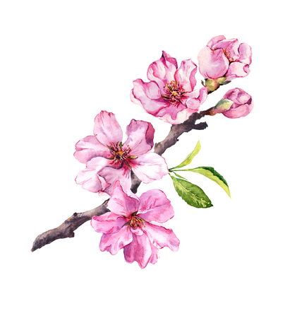 Cherry blossom, sakura flowers in spring time. Watercolor twig