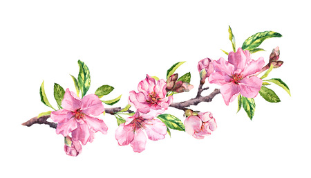 Cherry blossom, sakura flowers in spring time. Water color twig Stock Photo