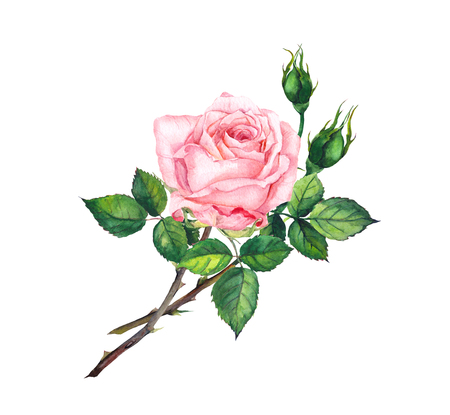 Pink rose with buds, leaves. Watercolor art