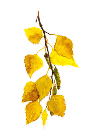Autumn birch branch with yellow leaves, Watercolor Фото со стока