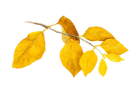 Yellow leaves on autumn branch. Watercolor illustration
