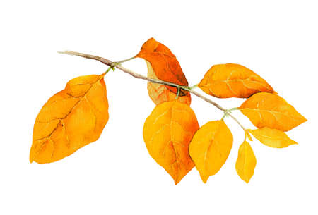 Yellow leaves on branch. Watercolor autumn botanical illustration