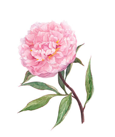 Blooming pink peony flower. Watercolor botanical picture