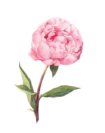 Pink peony flower. Water color botanical illustration