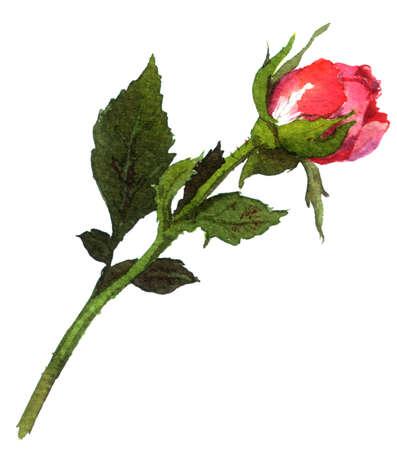 Bud of red rose. Water color illustration