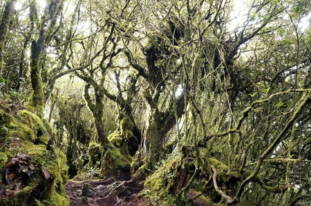 pahang: Mystical and beautiful famous green Mossy Forest in Cameron Highland  Stock Photo