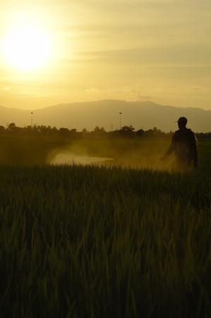 desinfectante: Un agricultor silueta de pulverización de insecticidas en el campo de arroz al final de la jornada