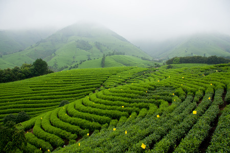 Long Creek Anji County, Zhejiang white tea base. Reklamní fotografie