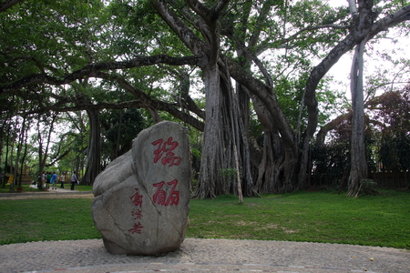 stupa one: Tree forest, Ruili in Yunnan Mountain Village depends on a tree so famous, stunning is it by three large banyan help each other climb together, the highest that a large up thirty-six m, that thick aerial roots as a python, plunged into the earth, it seems Editorial