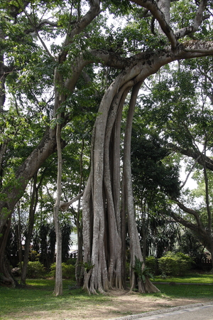 depends: Tree forest, Ruili in Yunnan Mountain Village depends on a tree so famous.