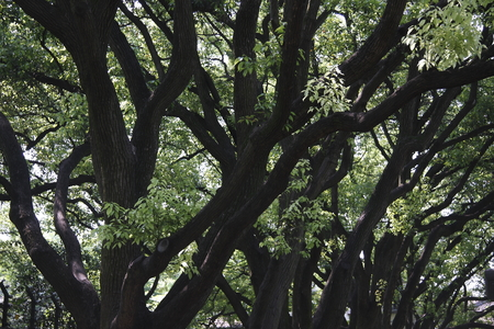 pictured:  Pictured camphor. Stock Photo
