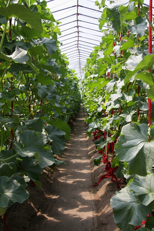 yields: Fruits and vegetables, is a new breed Hangzhou Xiaoshan a farm cultivation, scientific cultivation yields significantly improved, so that the increase farmers income.