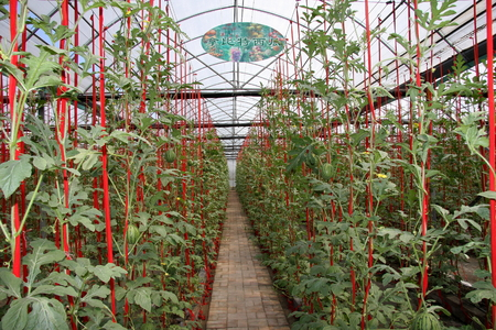 increase fruit: Fruits and vegetables, is a new breed Hangzhou Xiaoshan a farm cultivation, scientific cultivation yields significantly improved, so that the increase farmers income.