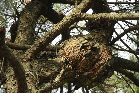 "tumors: A tumor of pine trees. According to local people, said Zhejiang Tiantai long ""pine tumor"" This tree will slowly wither. Stock Photo"