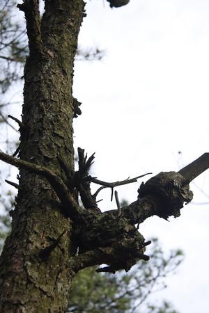 tumors: Dead pine.