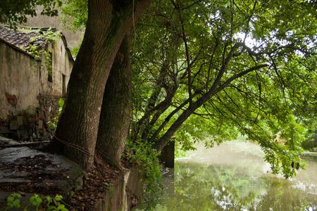 yangtze: Camphor trees beside the Yangtze River.