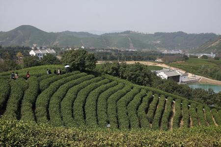 wei�er tee: Wei�er Tee Bauernhof