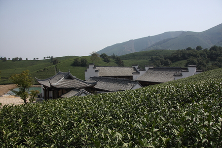 pictured: Pictured Anji County in Zhejiang River Dragon white tea base. Editorial