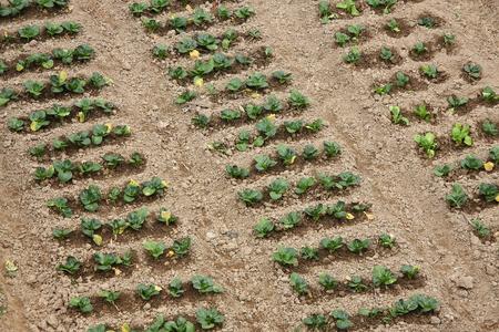 pastoral scenery: Vegetable garden