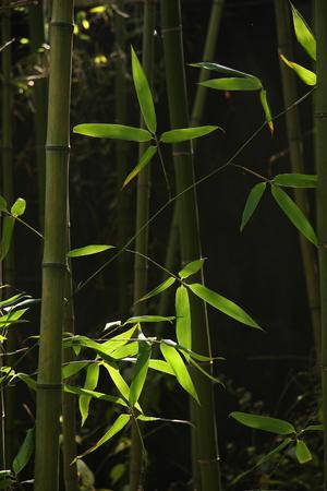 irradiation: Bamboo