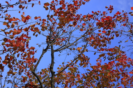 silver maple: Tachuan is located in Yixian County, Anhui Province is one of the many beautiful and rich natural villages in a charming mountain village.