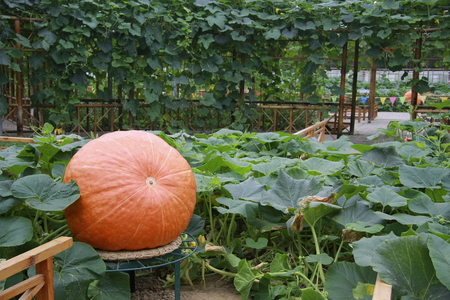 villagers: Pumpkin, Jiangsu huaxi villagers to use greenhouses planted pumpkins and increase economic efficiency. Editorial