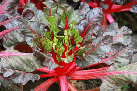 significantly: Red dish, Jiangsus huaxi village of new varieties grown on a farm of a certain appreciation, scientific cultivation production has increased significantly, increased farmer income. Stock Photo