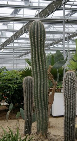 increase fruit: Cactus of various varieties grown in a farm