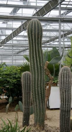 increase fruit: Cactus of various varieties grown in a farm