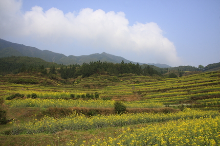 canola: canola flower field scenic