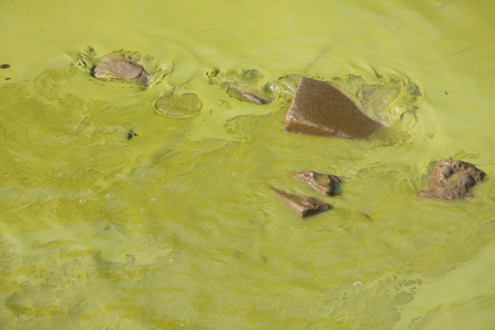algae: Blue-green algae in Taihu Lake