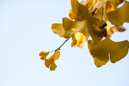 duck feet: An ancient gingko tree gallery located in Changxing small Pu BA Jie, Changxing County, one of the three great ecological wonders. Stock Photo
