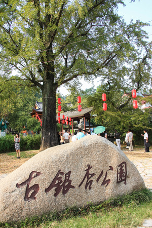 duck feet: An ancient gingko tree gallery located in Changxing small Pu BA Jie, Changxing County, one of the three great ecological wonders. Editorial