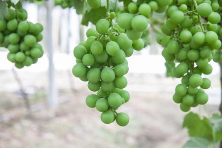 arboles frutales: Viñedo