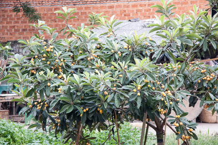 front house: The loquat tree in front of the House