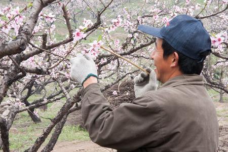 pollination: Gardener doing pollination for a peach blossom Editorial