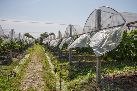 vineyard 新聞圖片
