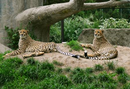 jubatus: Pair of cheetah (Acinonyx jubatus)