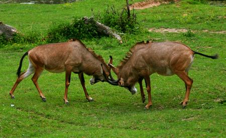 roan: Roan antelopes (Hippotragus equinus) fighting