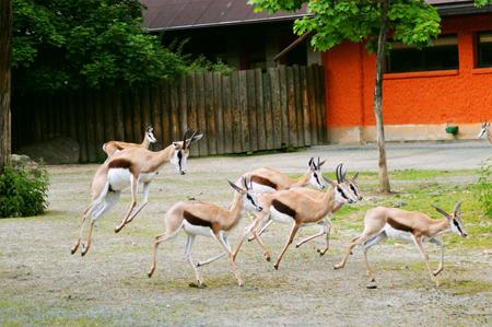 antidorcas: Herd of springbok (Antidorcas marsupialis)