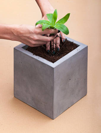 relocating: Overhead view of women hands relocating young plant in a  square concrete pot