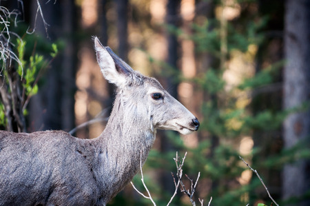 mule deer: Mule deer female profile portrait near the edge of a forest in the morning