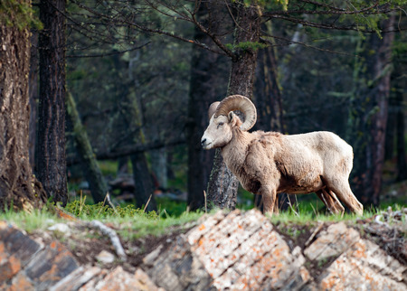 rocky mountain bighorn sheep: Wild Rocky Mountain bighorn sheep male standing in the morning forest
