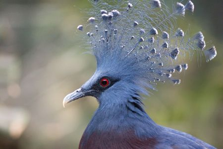phylum chordata: Paloma coronada Victoria (Goura Victoria) con plumaje de color azul, un azul y blanco de cresta