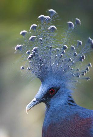 phylum chordata: Paloma coronada Victoria (Goura Victoria) con plumaje de color azul, un azul y blanco y una cresta sorprendentemente brillantes ojos rojos