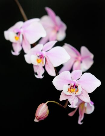 Pink phalaenopsis orchid (hybrid) close-up on the Black background Stock Photo